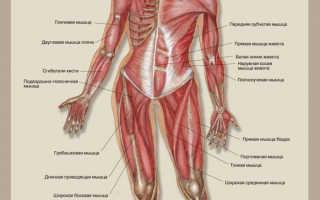Строение человека мышцы и нервы